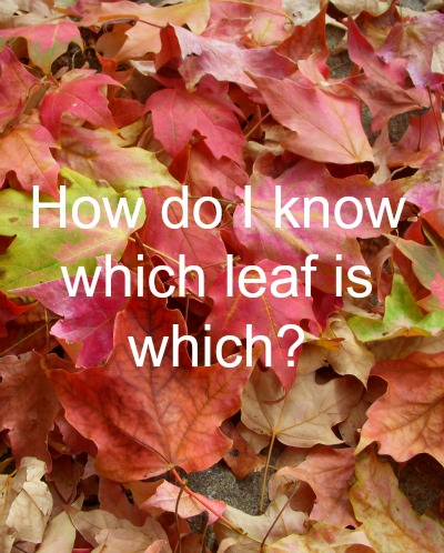 identifying maple leaves for tapping